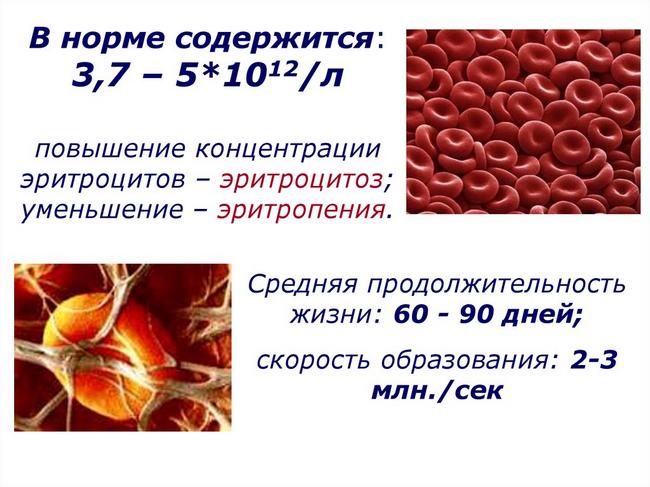 Эритроциты в крови чуть ниже нормы thumbnail