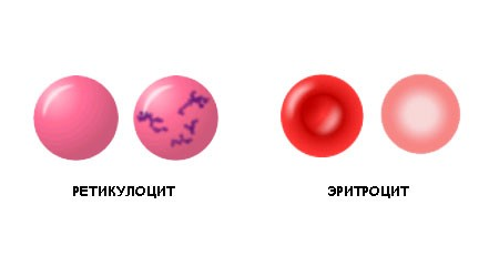Ретикулоциты и эритроциты