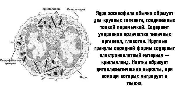 Строение клетки эозинофила
