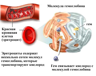 Строение молекулы гемоглобина