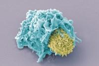 T-лимфоциты